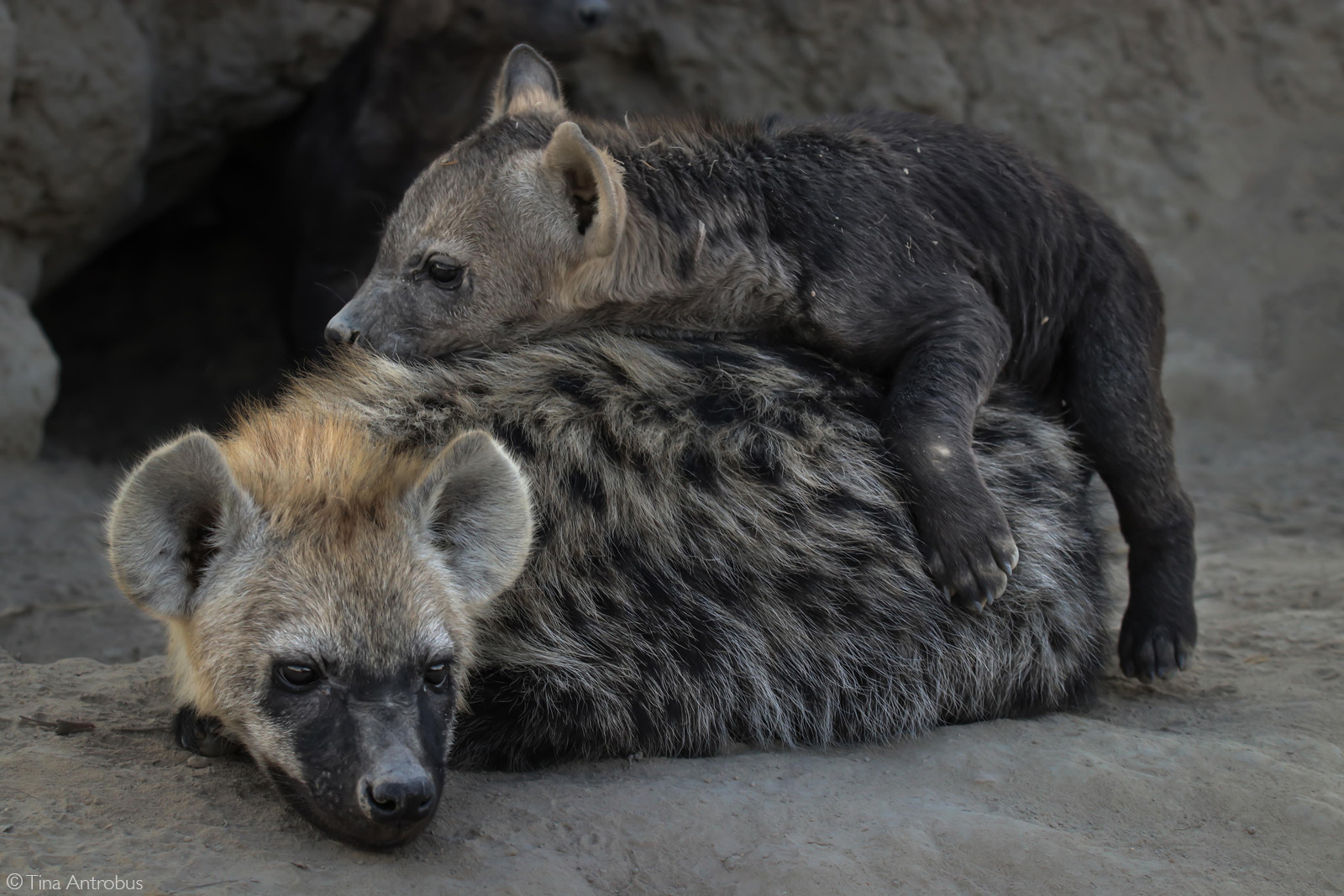A spotted hyena cub looking after its sibling. Timbavati Game Reserve, South Africa © Tina Antrobus
