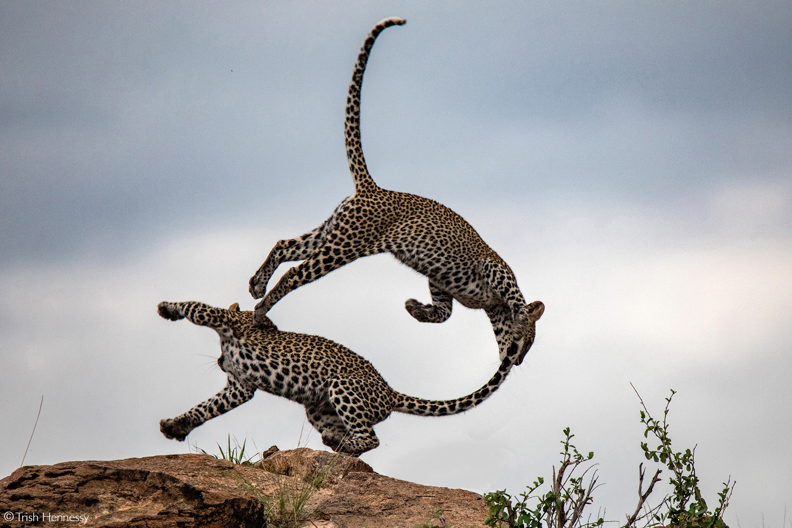 Leopard brothers playing on the rocks. Samburu National Reserve, Kenya © Trish Hennessy