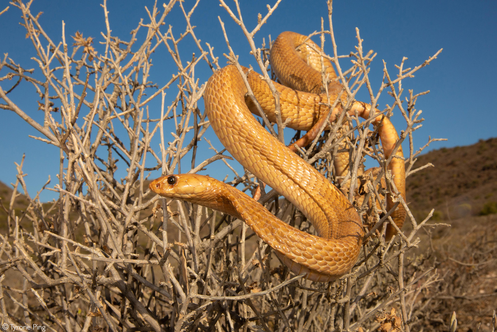 Cape cobra (Naja nivea). Montagu, Western Cape, South Africa © Tyrone Ping
