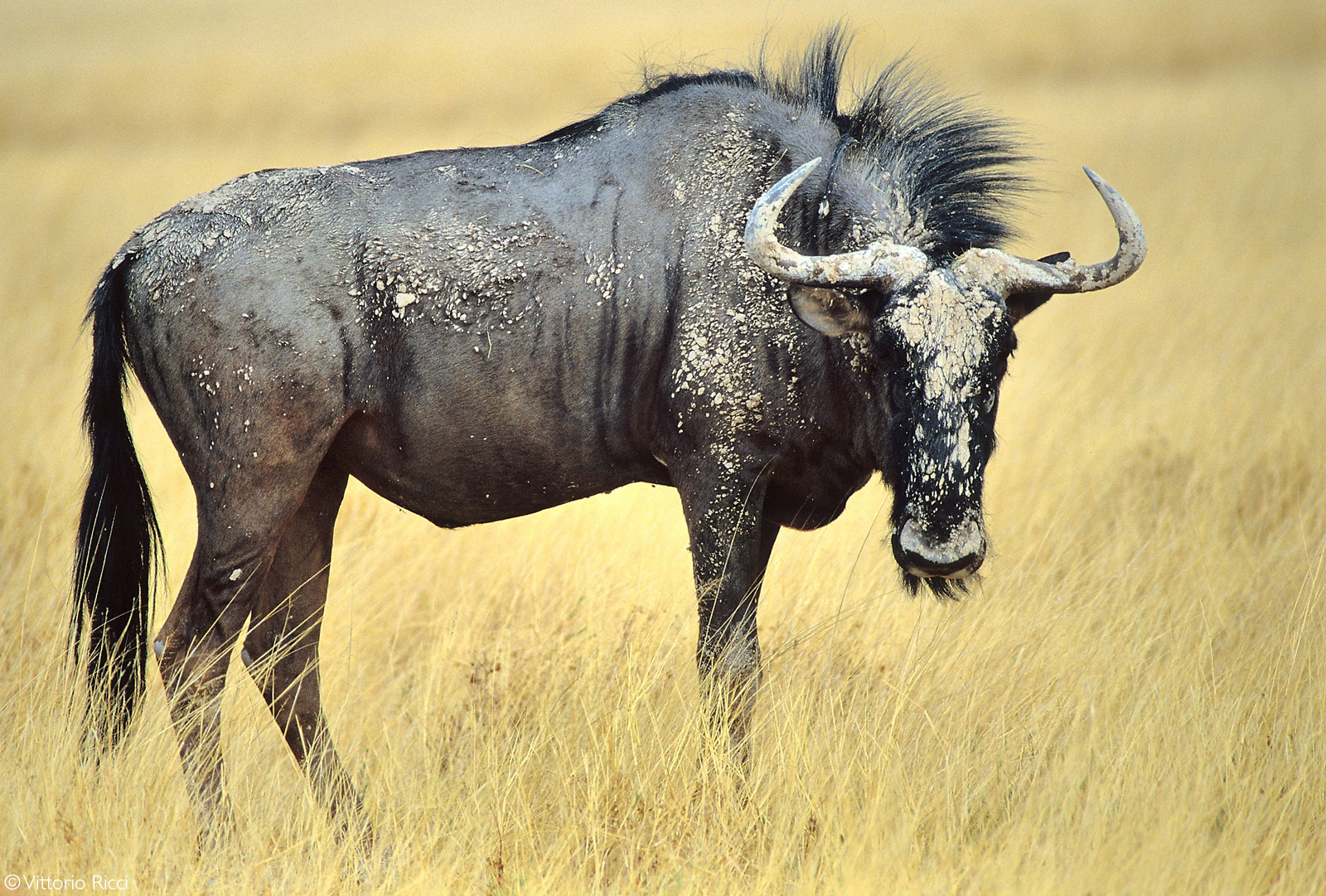 A wildebeest covered in dry mud amongst golden grass. Etosha National Park, Namibia © Vittorio Ricci