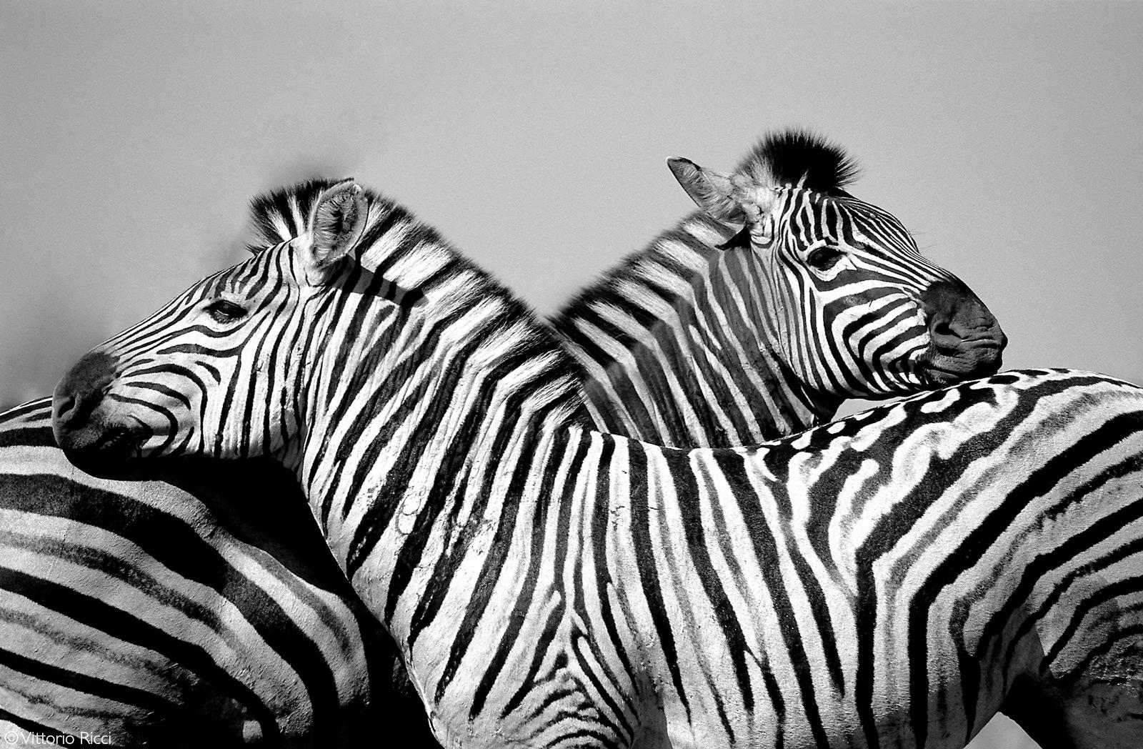 Zebras resting with caution near to a waterhole. Etosha National Park, Namibia © Vittorio Ricci