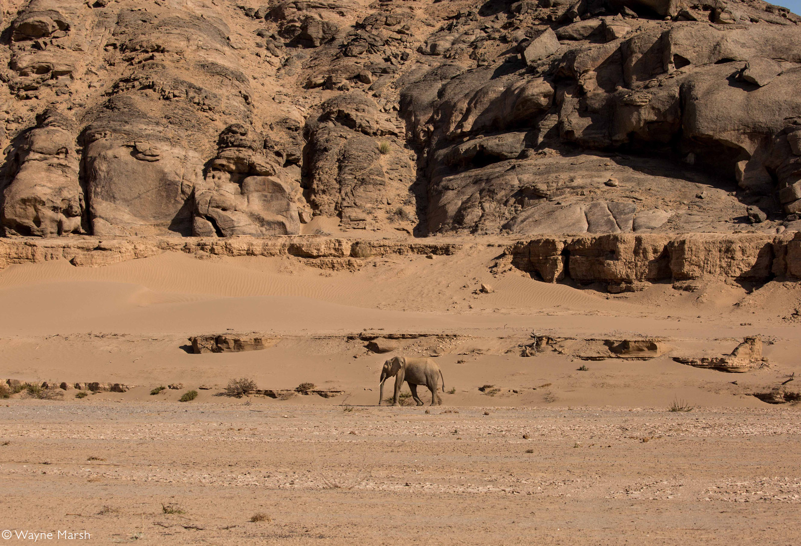 An adult desert-adapted elephant making its way along the Hoanib riverbed. Namibia © Wayne Marsh
