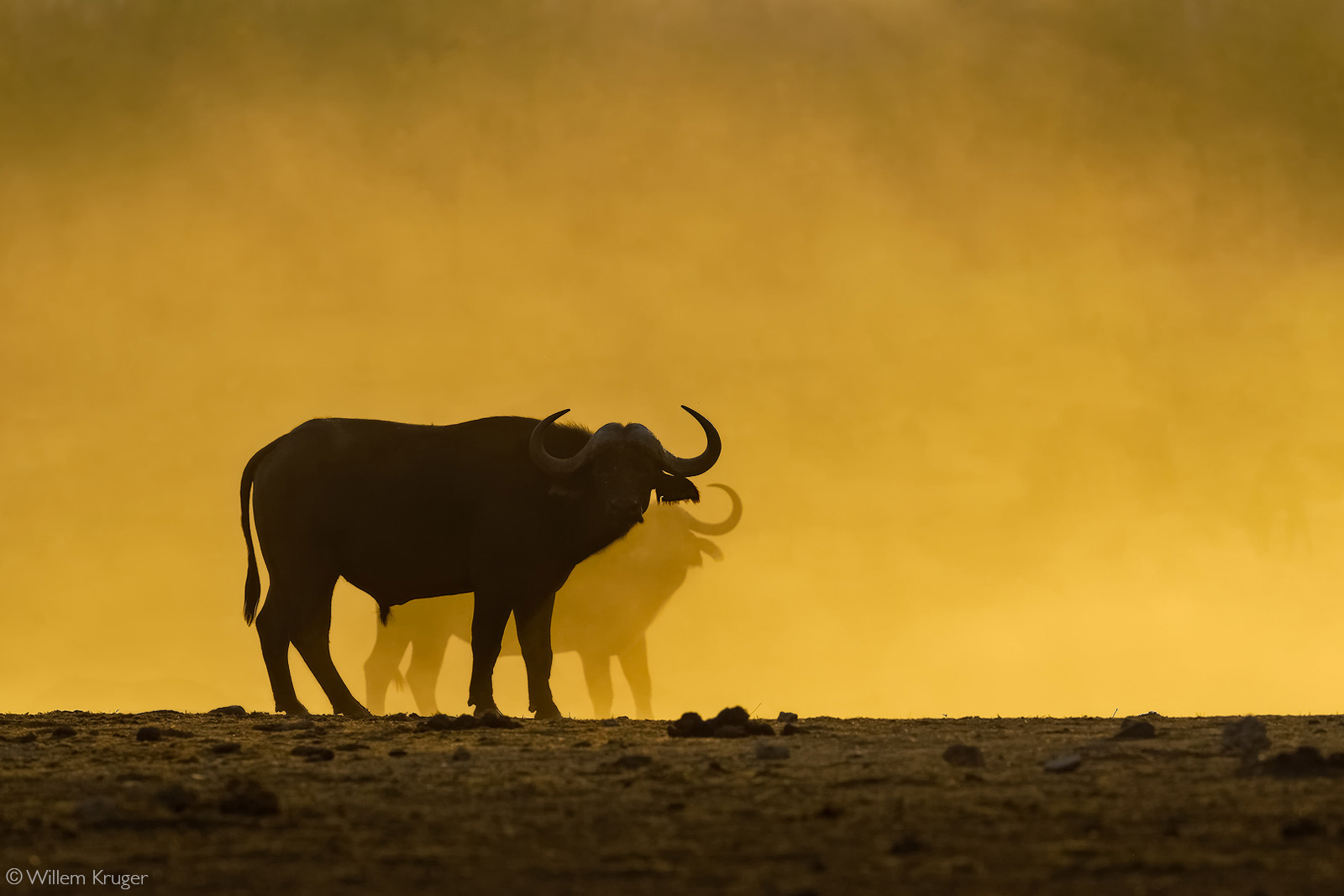 Buffaloes in the dust at sunset. Kruger National Park, South Africa © Willem Kruger