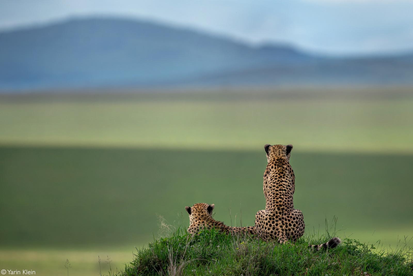 Cheetah brothers look out into the valley. Maasai Mara National Reserve, Kenya © Yarin Klein