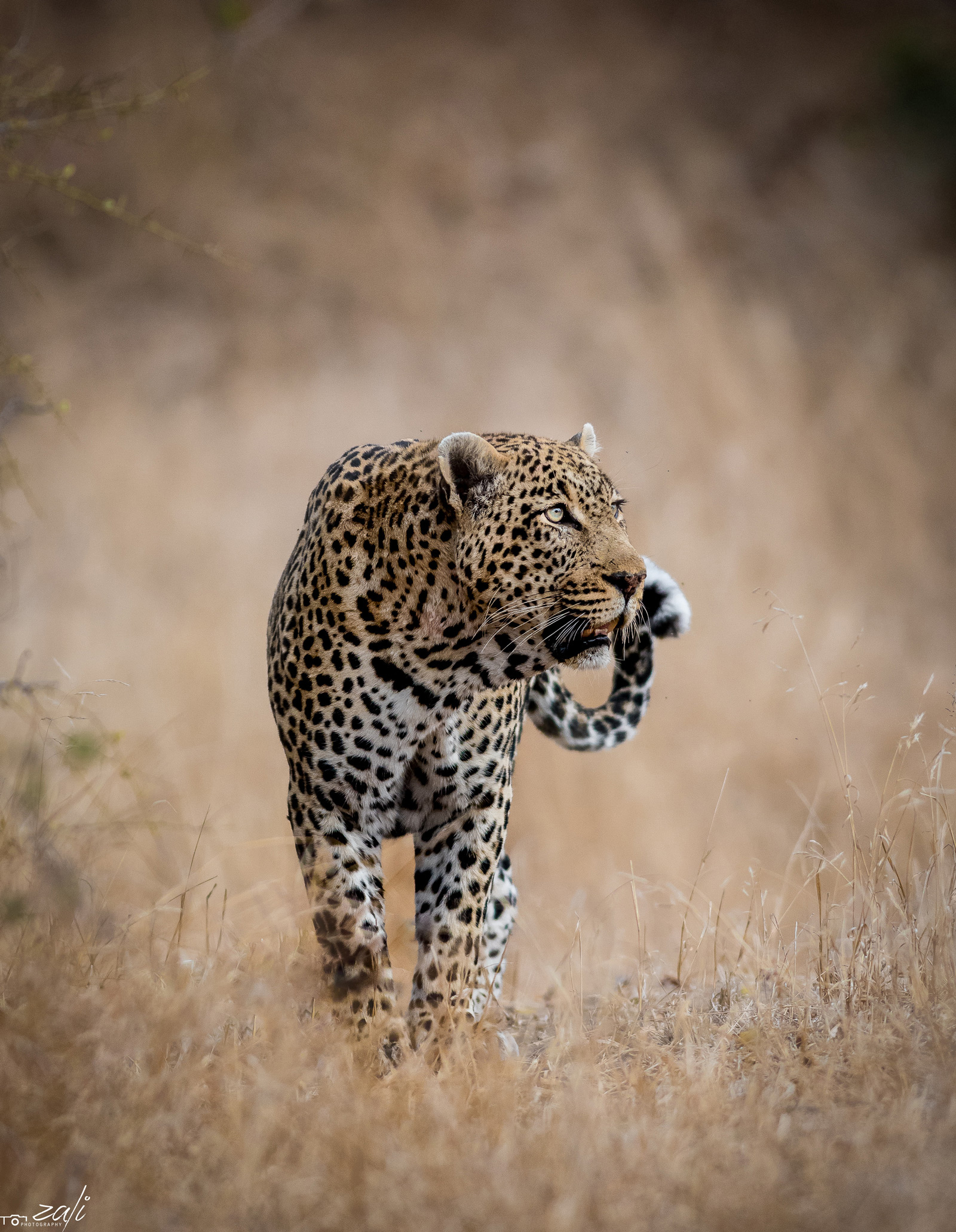 A leopard observes guests on game-viewing vehicle a few metres away from him. Sabi Sands Private Game Reserve, South Africa © Zaheer Ali