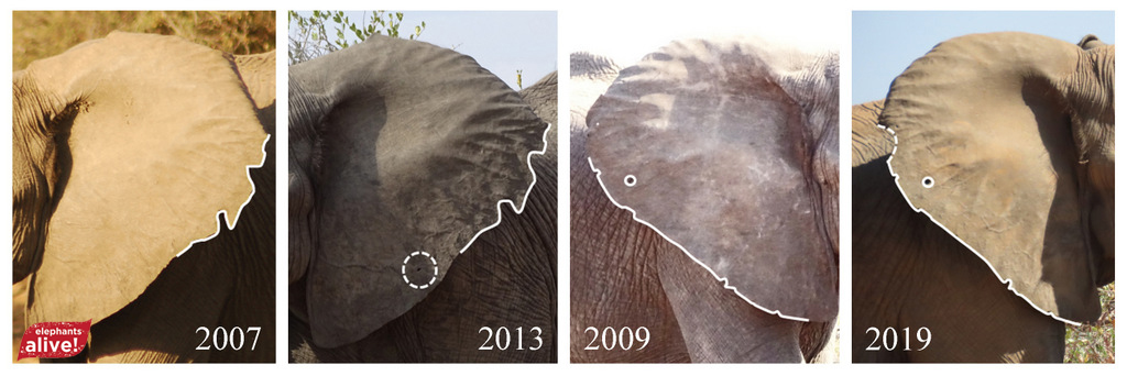 Elephants with ear changes over the years