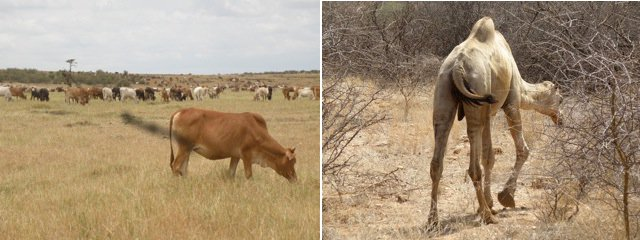 Maasai cow and a camel