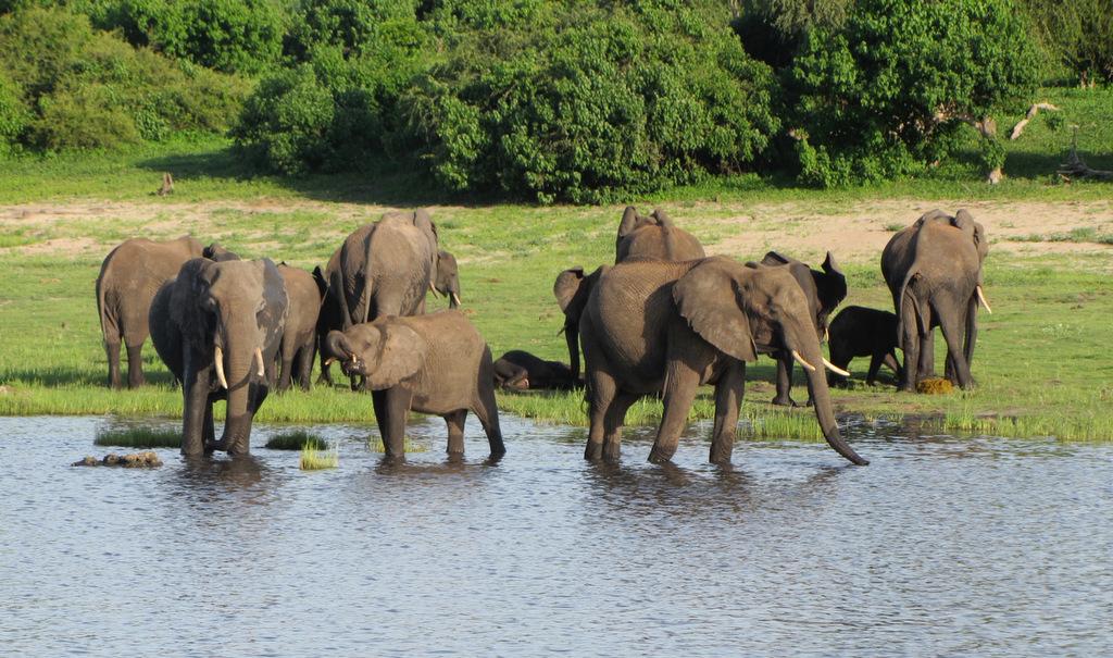 Elephant herd drinking at waterhole
