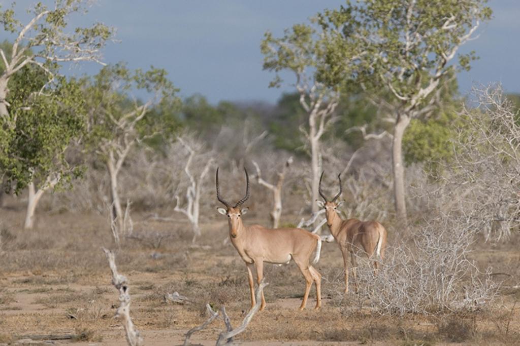 Hirola antelope in the wild communities