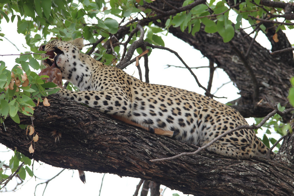 Leopard eating impala carcass in tree