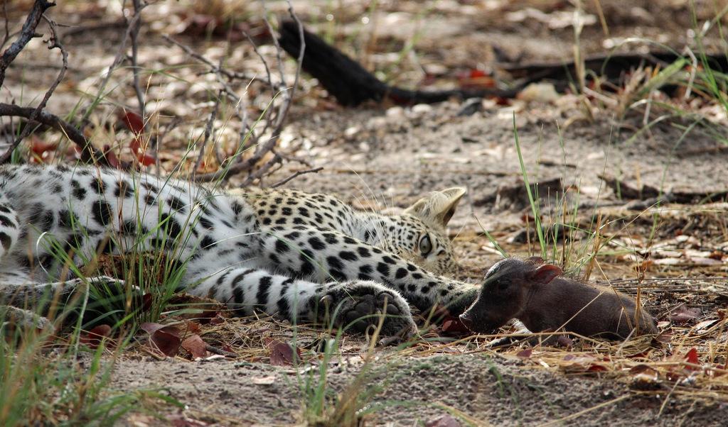 Leopard cub with warthog piglet