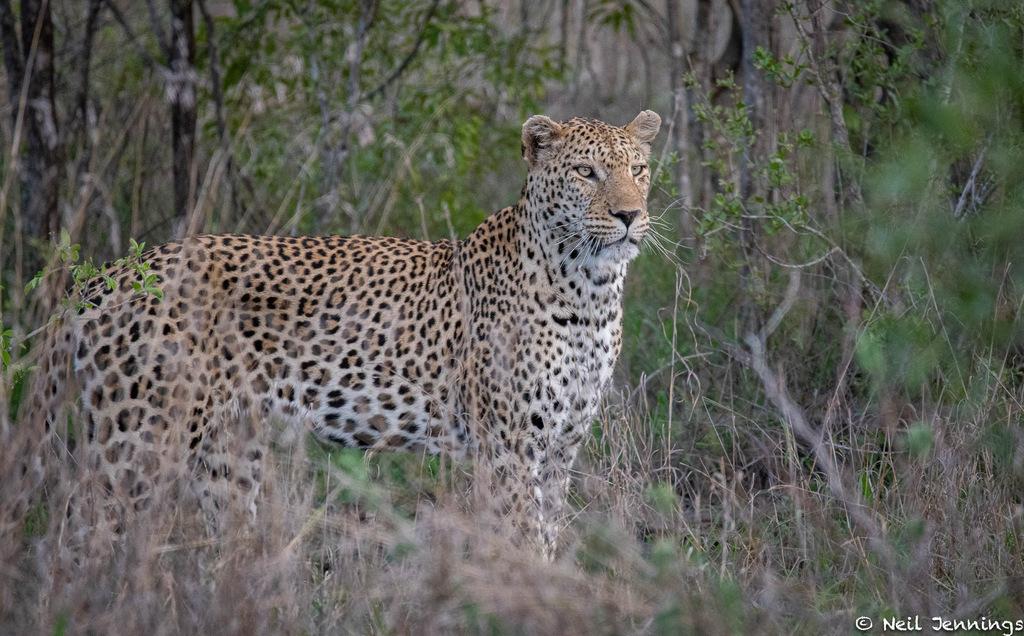 leopard, Greater Kruger, South Africa
