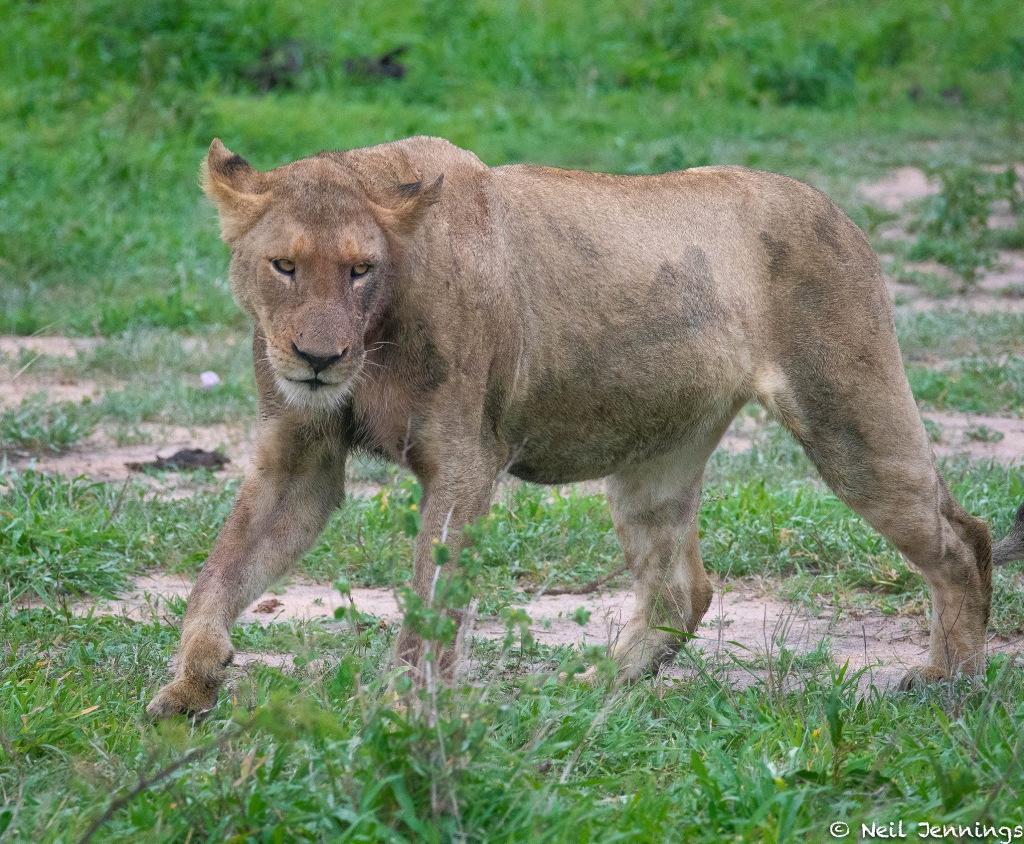 Lioness walking, Greater Kruger, South Africa