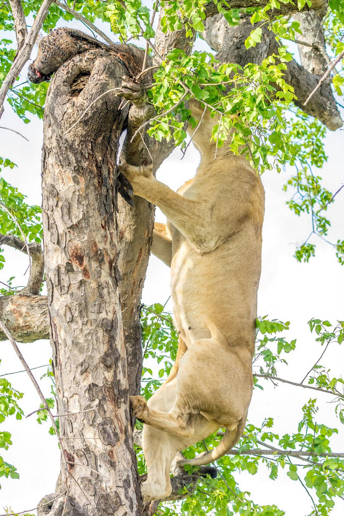 Lioness trying to take warthog down from tree, Greater Kruger, South Africa