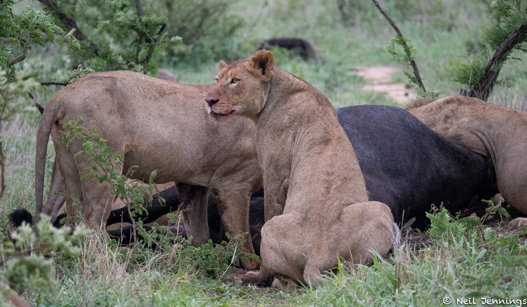 Lion pride eating buffalo carcass, Greater Kruger, South Africa
