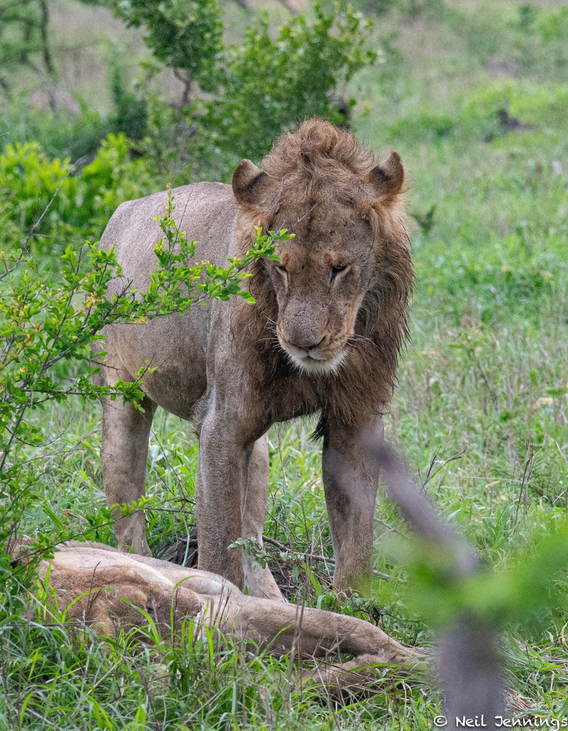 Male lion and lioness, Greater Kruger, South Africa