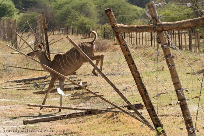wildlife-breaks-fence