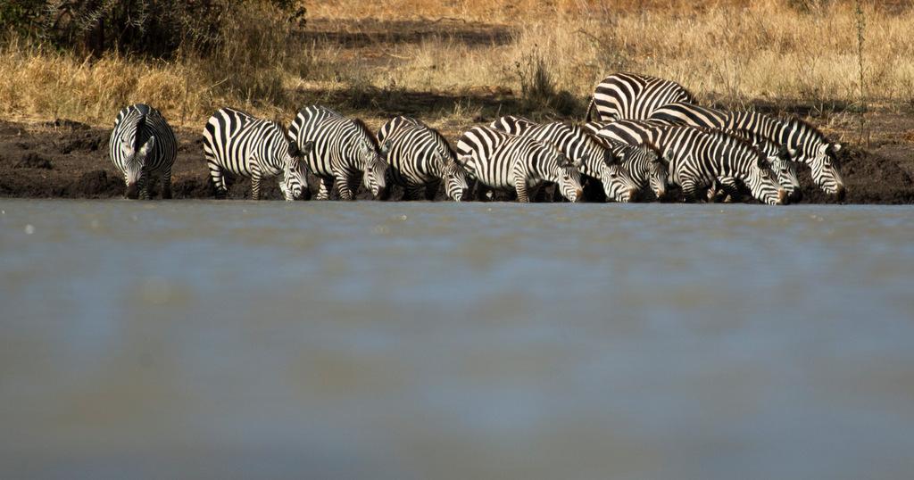 Zebras drinking at waterhole in northern Tanzania
