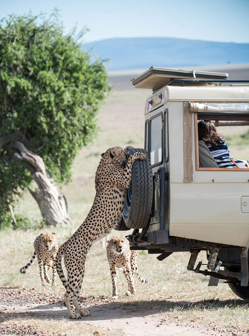 cheetah on the roof © Suhaib Alvi