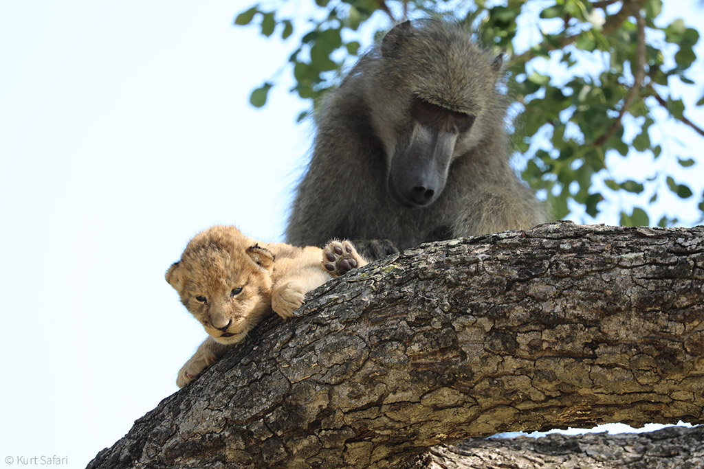 https://africageographic.com/wp-content/uploads/2020/02/1-featured.-The-baboon-was-seen-grooming-the-cub-%C2%A9-Kurt-Safari.jpg