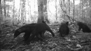 black honey badgers