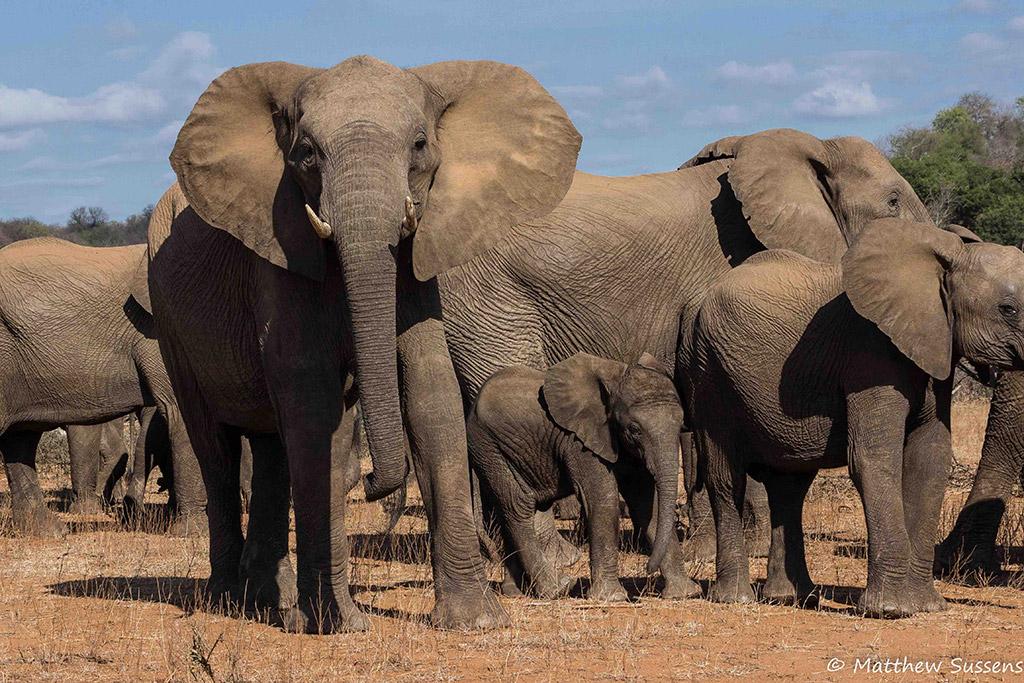 Elephant body language