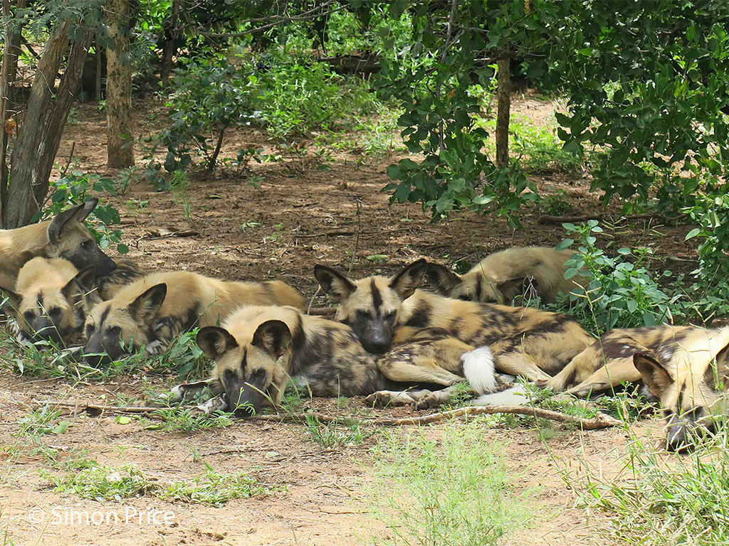 Painted wolf (African wild dog) release with Africa Geographic