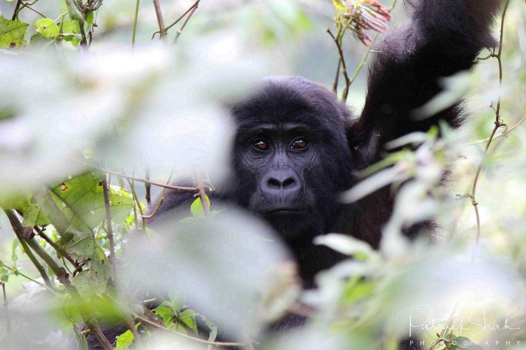 Mountain gorilla in Bwindi Impenetrable Forest National Park, Uganda