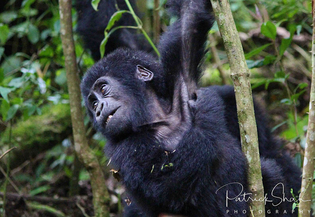 Young mountain gorilla in Bwindi Impenetrable Forest National Park, Uganda