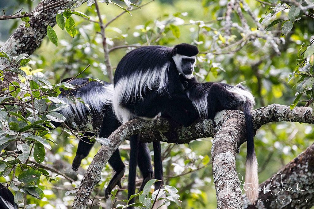Black and white colobus monkeys in Kibale Forest National Park, Uganda