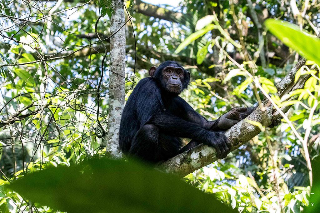 Chimpanzee in Kibale National Park, Uganda