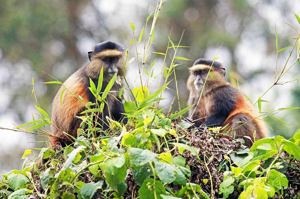 Golden monkeys in Mgahinga Gorilla National Park, Uganda