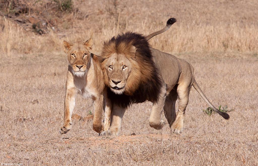 lion coalitions