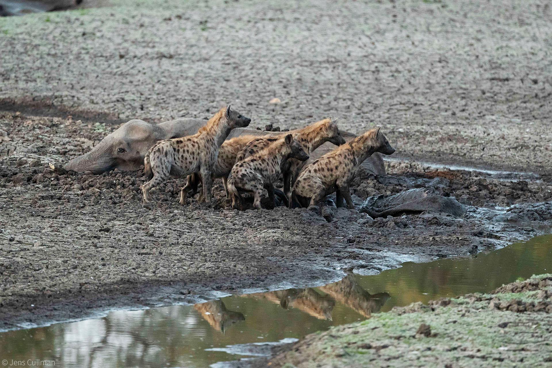 Hyenas eat baby elephant