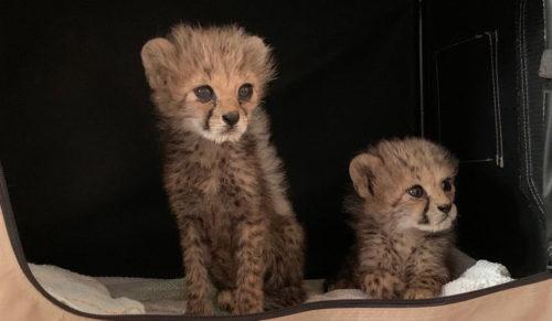 Cheetah cubs rescued