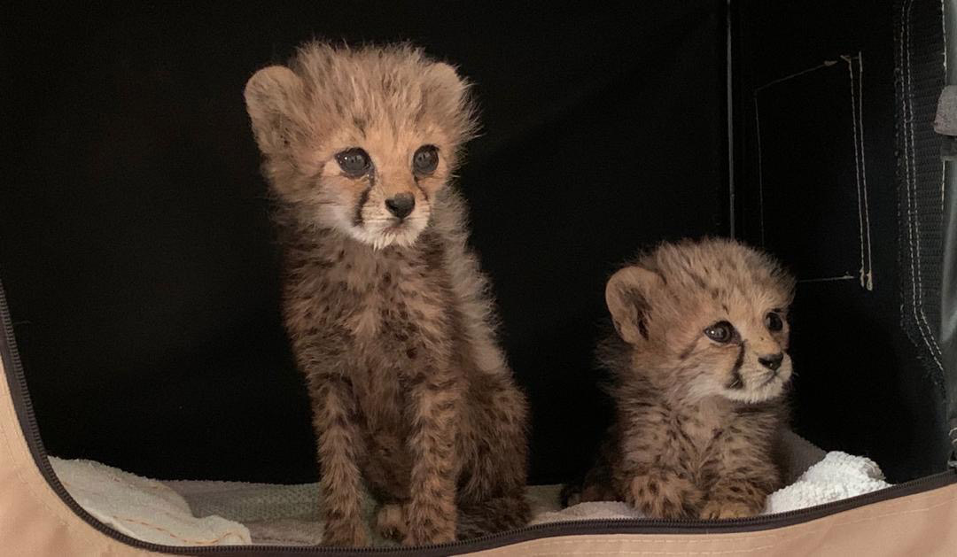 Cheetah cubs rescued