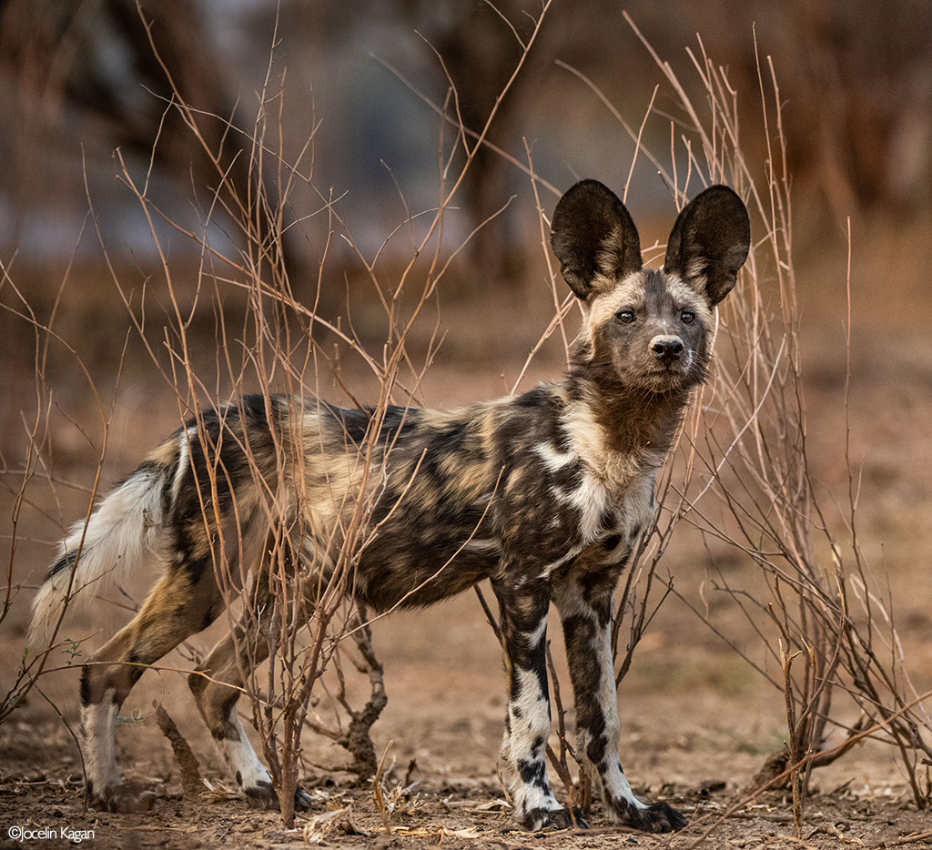 Africa's Wild Dogs - A Survival Story
