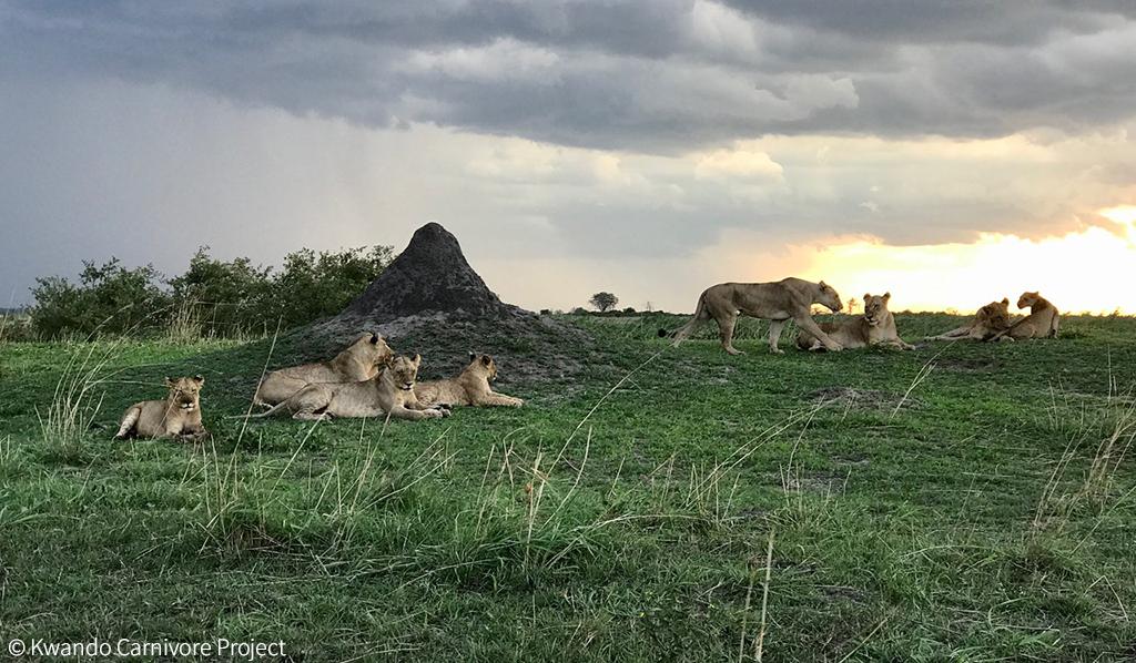 Human-lion conflict