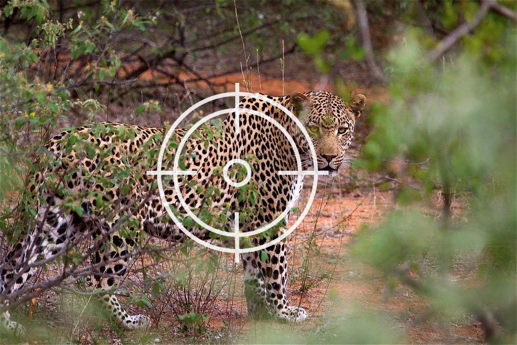 Leopard trophy hunting
