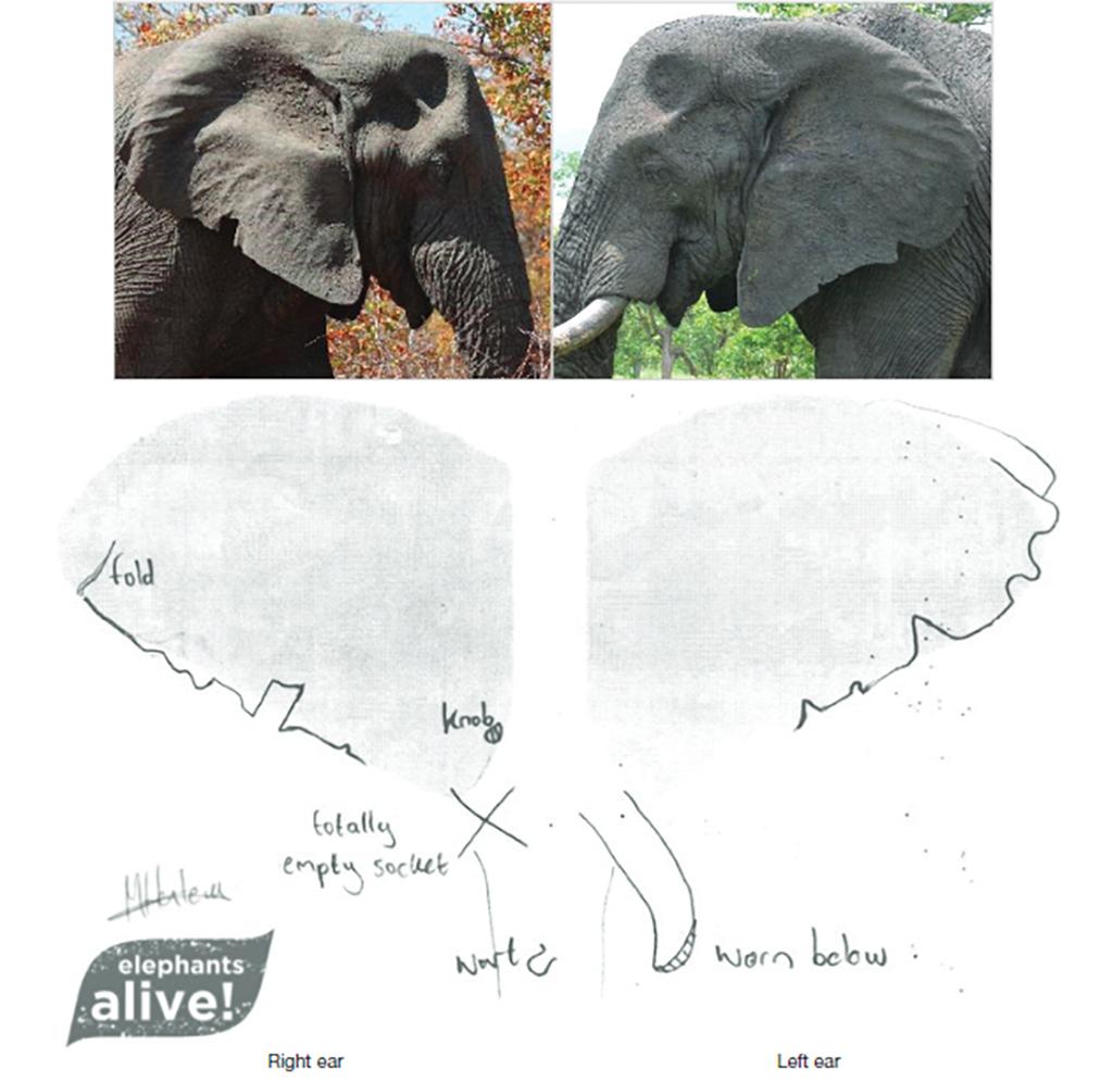 Elephant identification