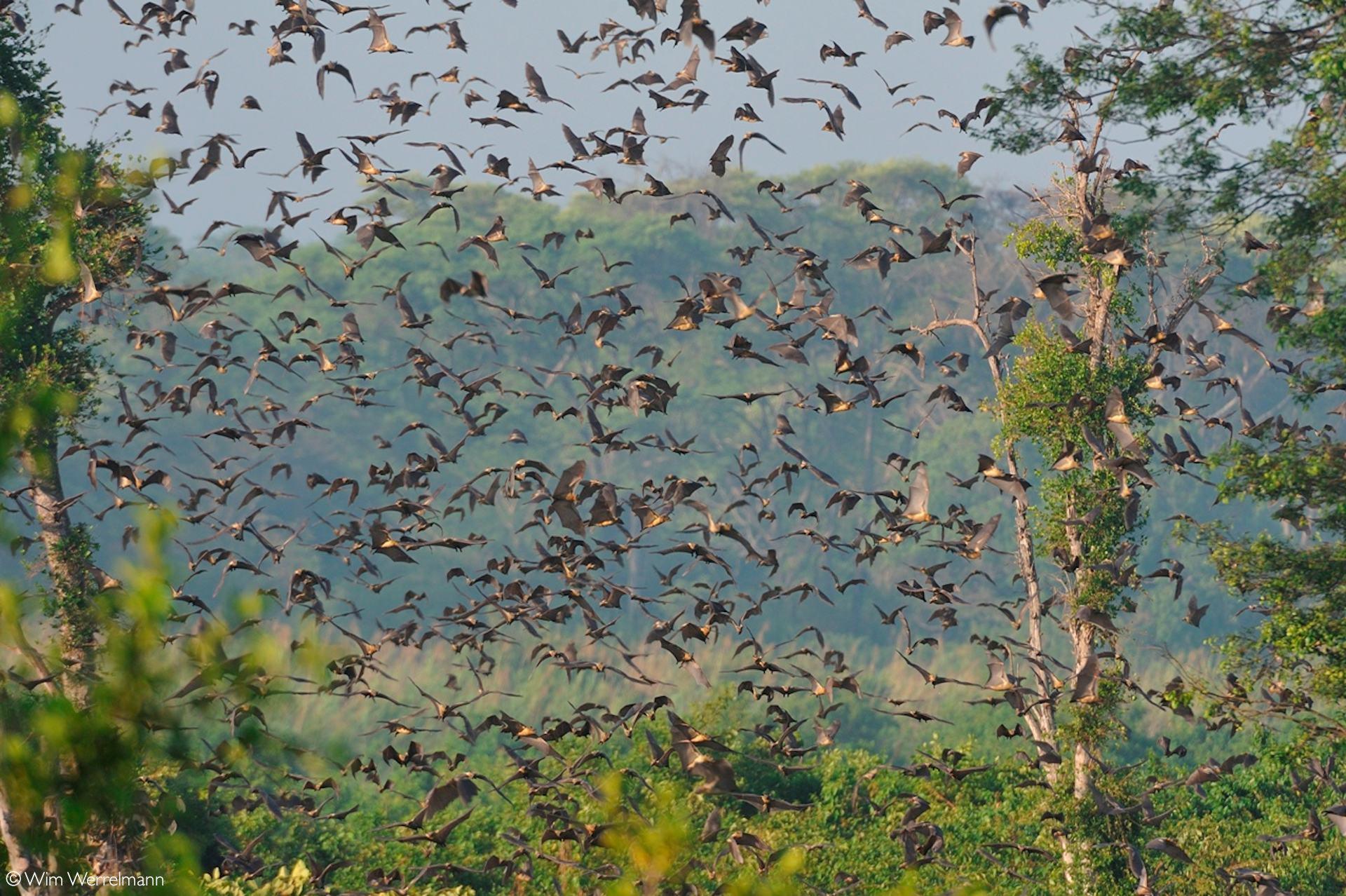 The Kasanka bat migration in all it's glory
