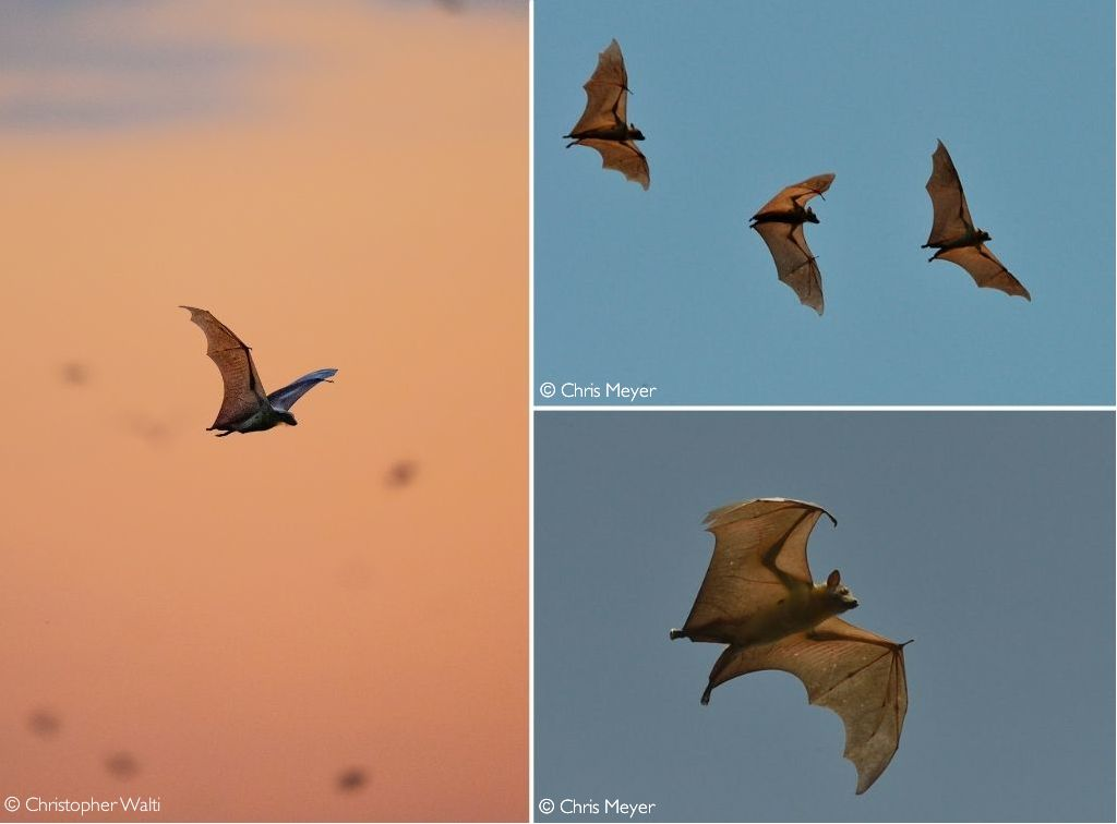 A few of the 8 - 10 million participants in the Kasanka bat migration