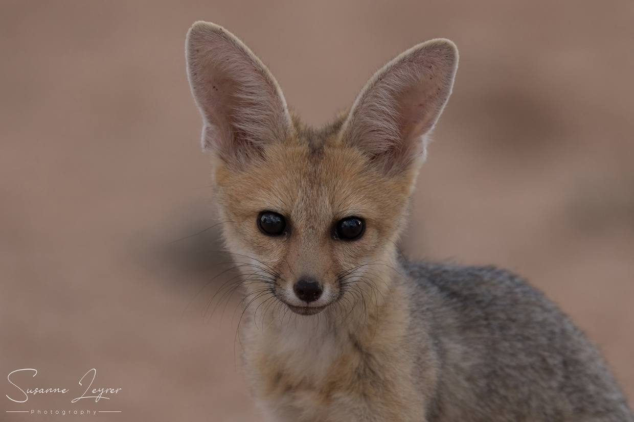 The 11 canids of Africa