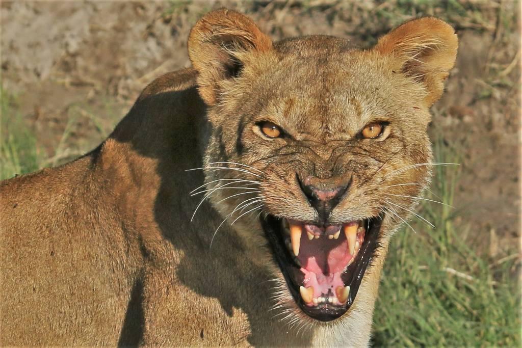 Chobe River lions