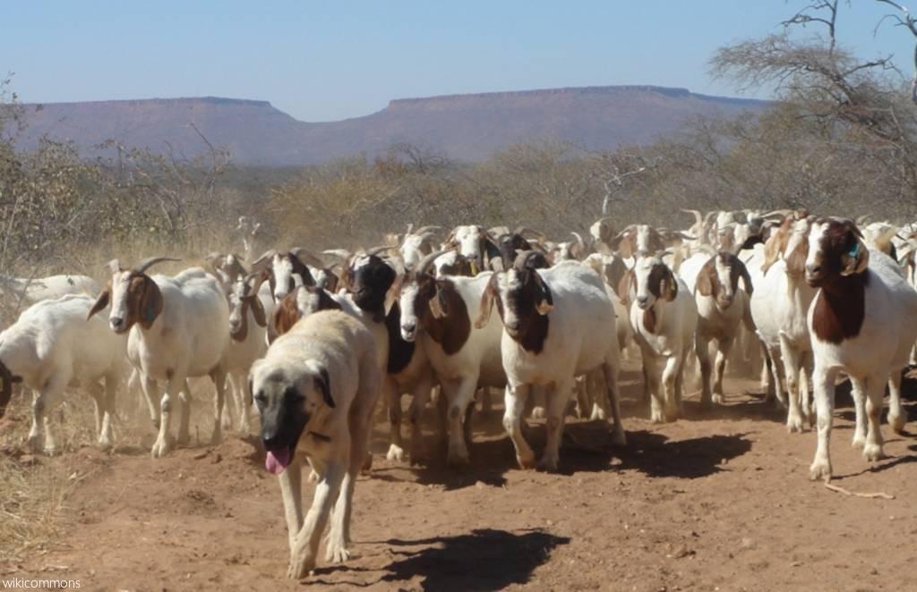 livestock guarding dogs