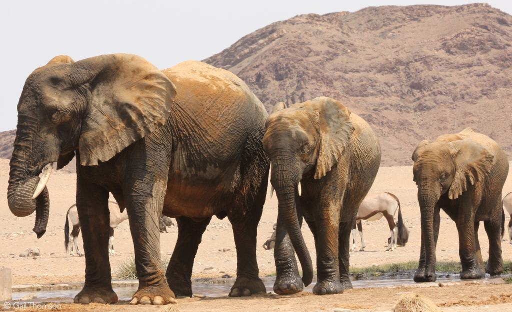 elephants are thriving in Namibia