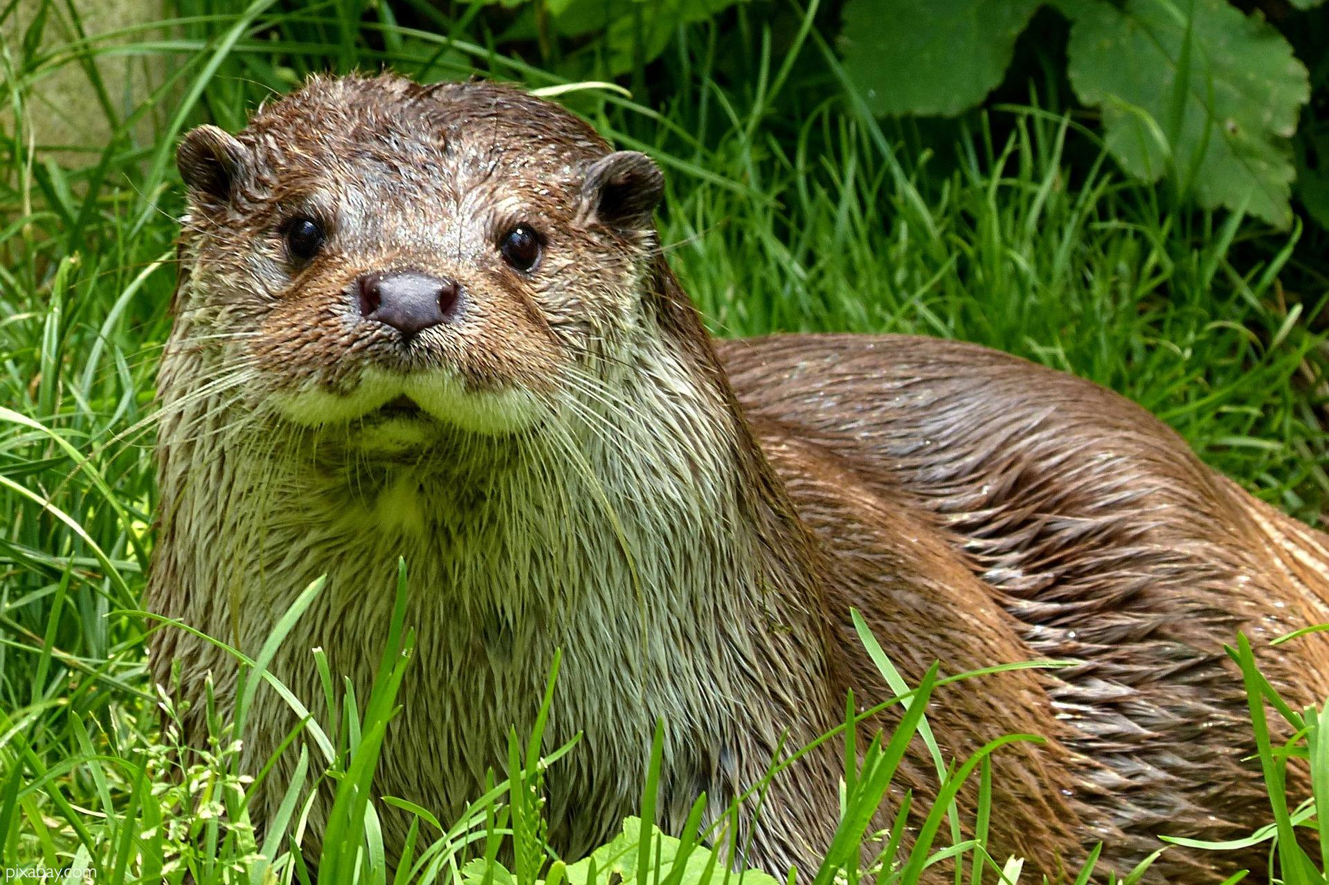 Otters of Africa