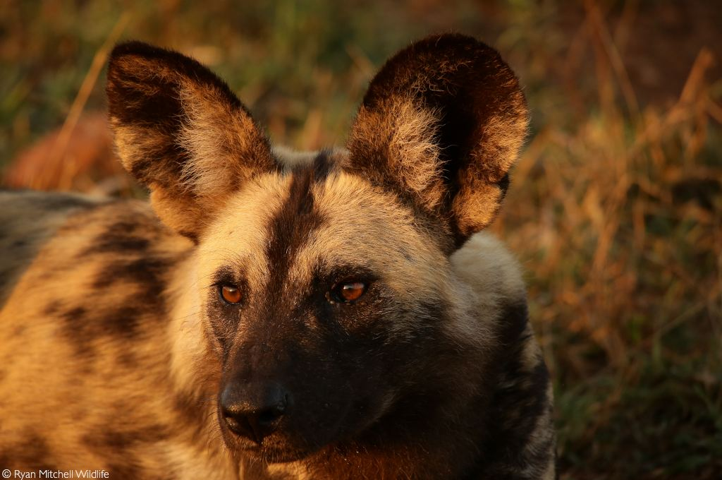African painted dogs released