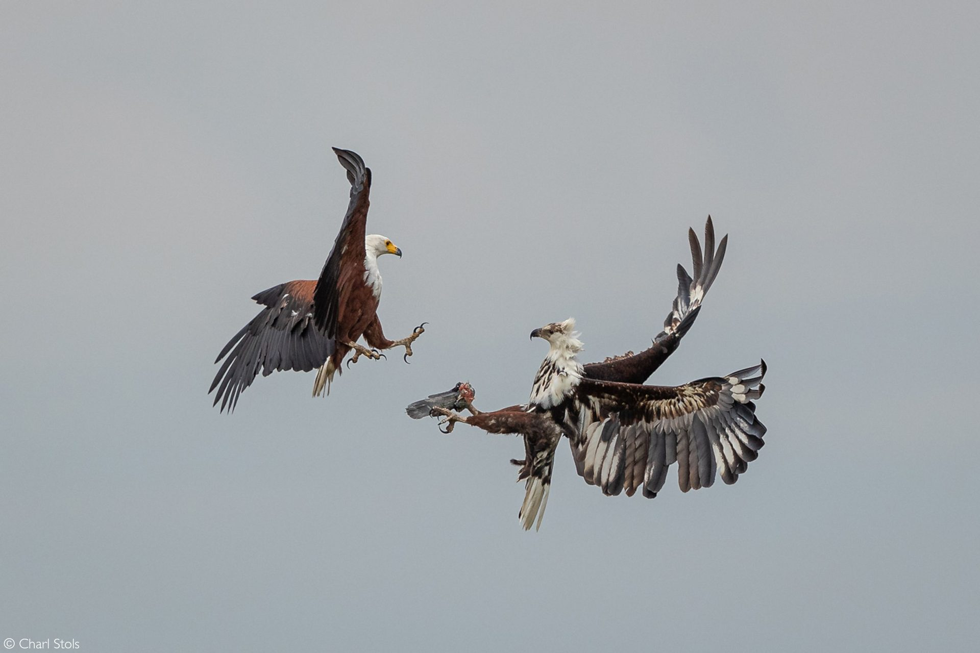 African eagles