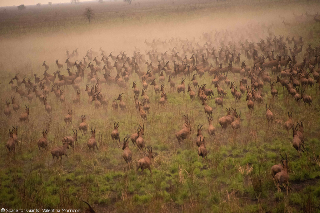 white-eared kob and tiang migration